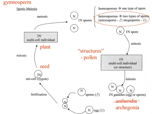 Gymnosperm Diagram
