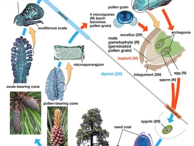 Diagram of Pine Lifecycle