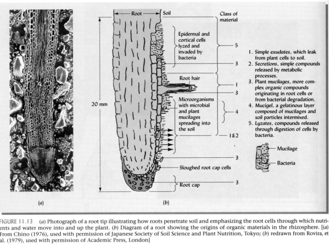 Photograph of a root tip illustrating how roots penetrate soil